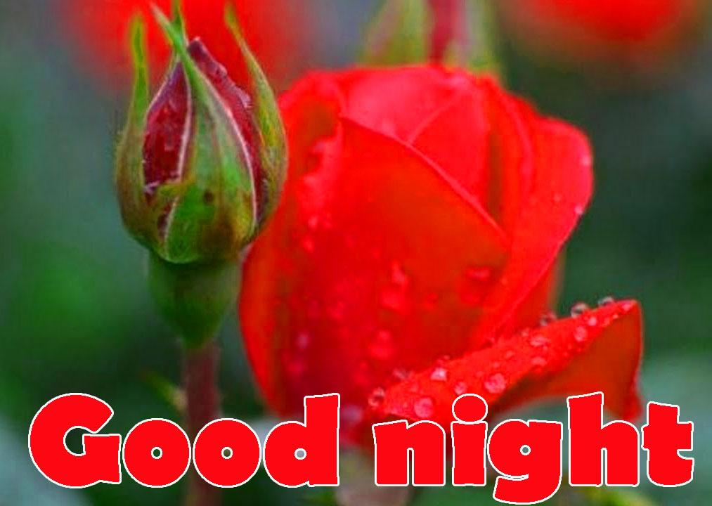 Red Rose Good Night Images Wallpaper Pictures Download