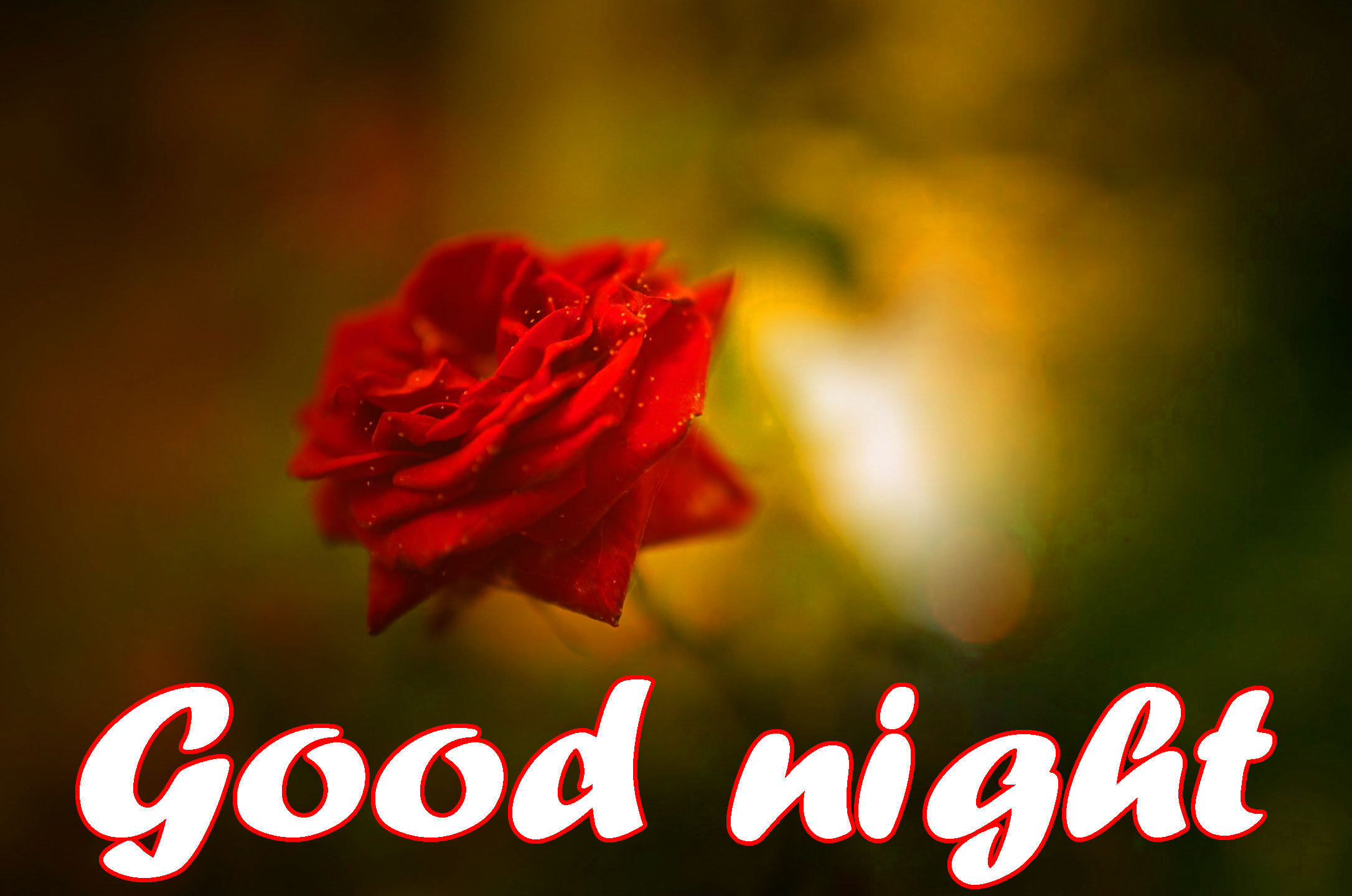 RED ROSE GOOD NIGHT WISHES IMAGES PICS WALLPAPER PICS DOWNLOAD