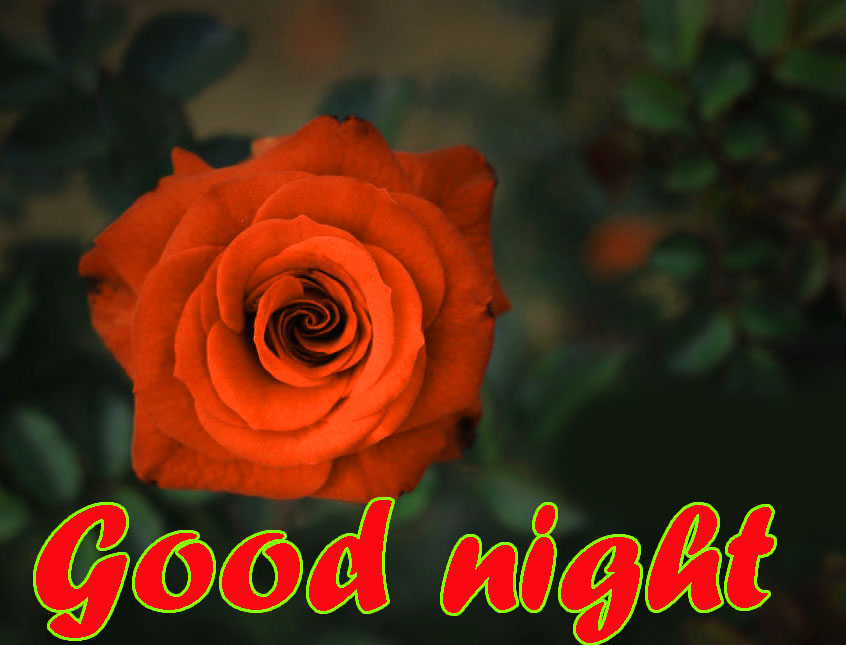 RED ROSE GOOD NIGHT IMAGES WALLPAPER PIC DOWNLOAD
