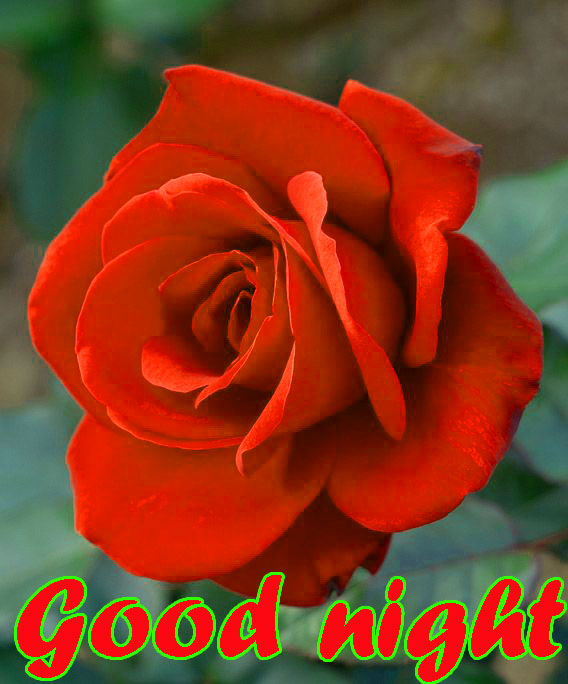 RED ROSE GOOD NIGHT IMAGES WALLPAPER PICS DOWNLOAD