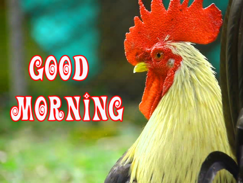 Rooster Good Morning Images Pics Download