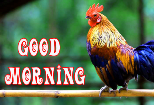 Rooster Good Morning  Photo Pics Wallpaper Download