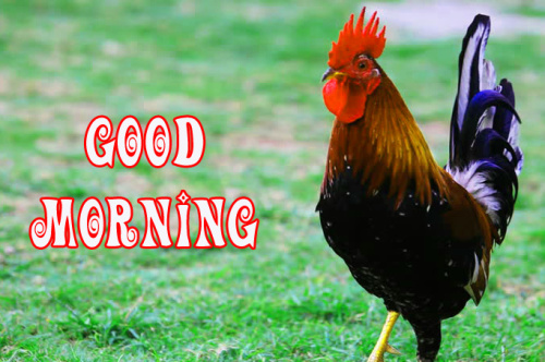 Rooster Good Morning Photo for Whatsapp