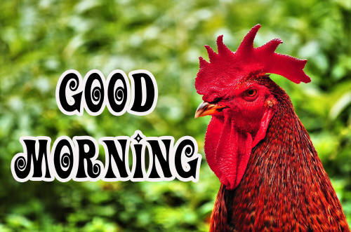 Rooster Good Morning Wallpaper Pics Download