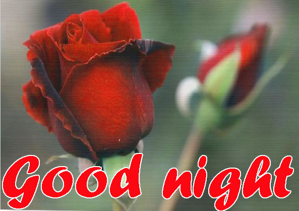 RED ROSE GOOD NIGHT WISHES IMAGES WALLPAPER PICS DOWNLOAD