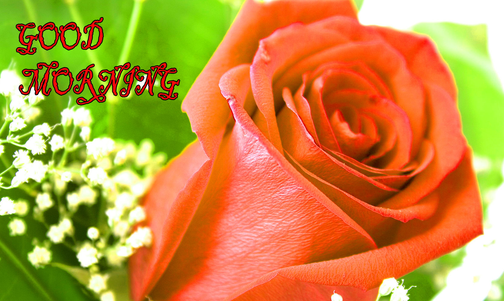 GOOD MORNING IMAGE WITH BEAUTIFUL FLOWERS NATURE WALLPAPER PIC FOR RED ROSE