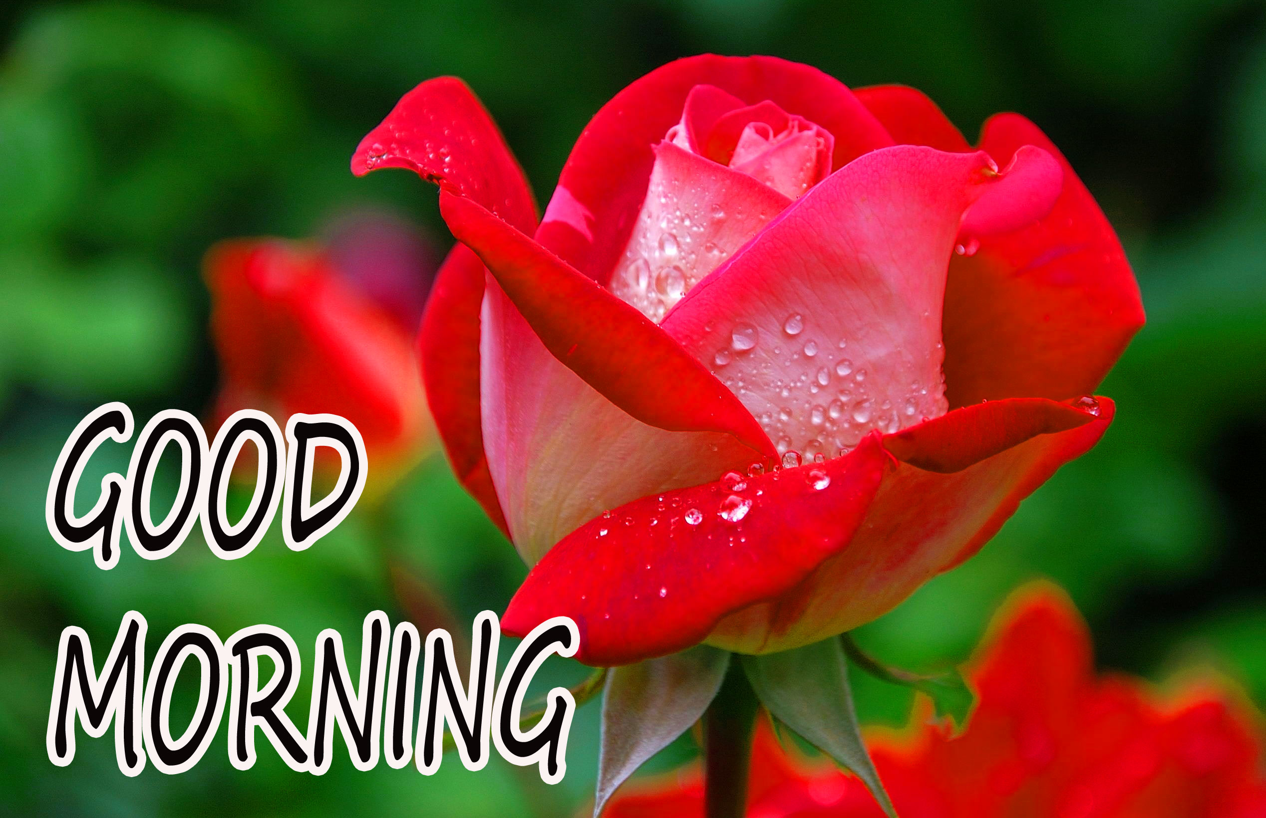 GOOD MORNING IMAGE WITH BEAUTIFUL FLOWERS NATURE WALLPAPER FOR LOVER FREE NEW